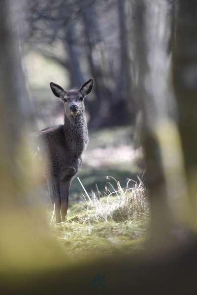 Red_deer_lochay_klein.jpg