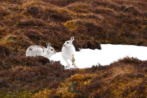 Hares_pair_quaich_klein.jpg