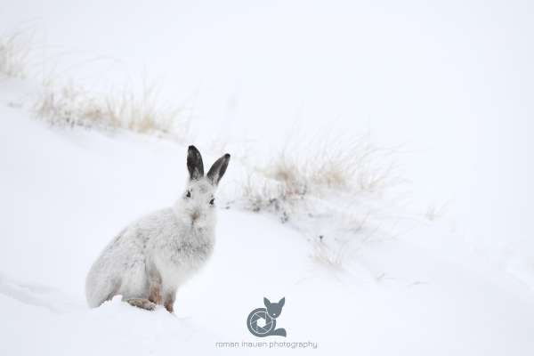 Mountain_hare_snow_hole_cairngorms_klein.jpg