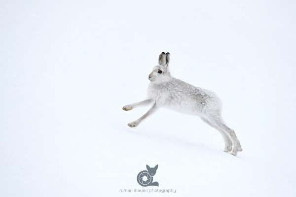 Mountain_hare_running_in_snow_klein.jpg