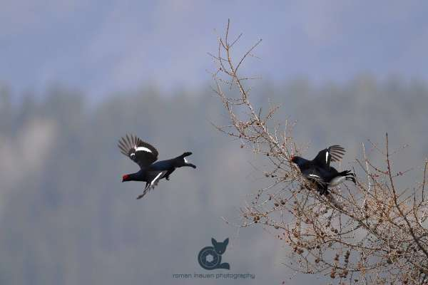 Black_grouse_larch_in_flight_klein.jpg