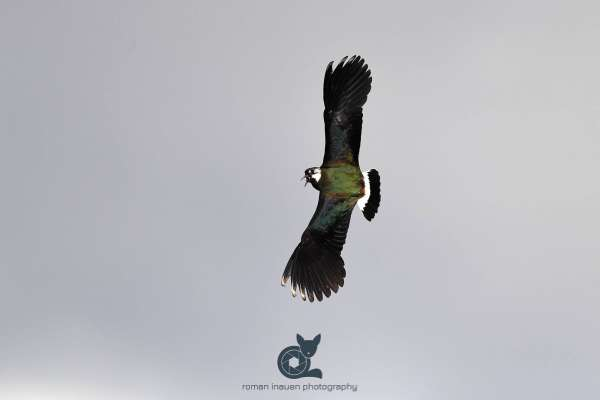 Lapwing_in_flight_2_webseite_klein.jpg