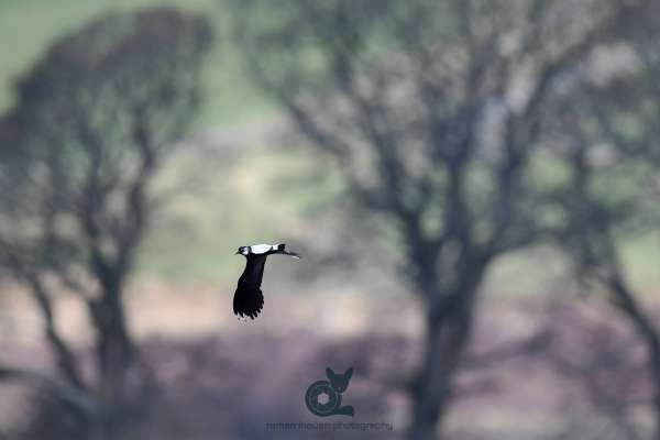 Lapwing_in_flight_webseite_klein.jpg
