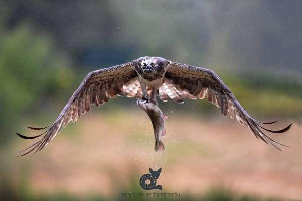 Osprey_2_web.jpg
