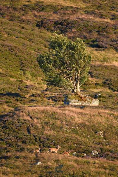 Red_deer_in_landscape_Tree_on_stone_klein.jpg