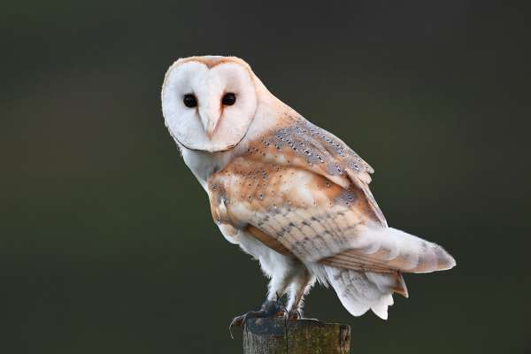 Barn_owl_on_post_2_klein.jpg