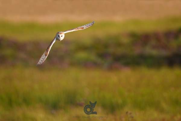 Barn_owl_in_flight_2_klein.jpg