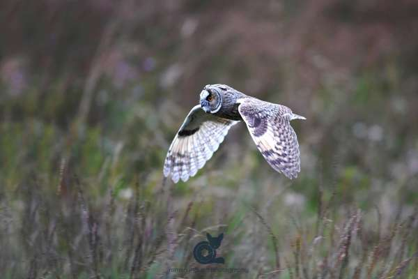 Long-eared_owl_in_flight_web.jpg