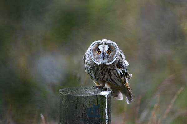 Long-eared_owl_web.jpg