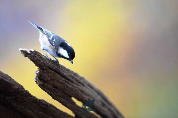 Coal_tit_autumn_web.jpg