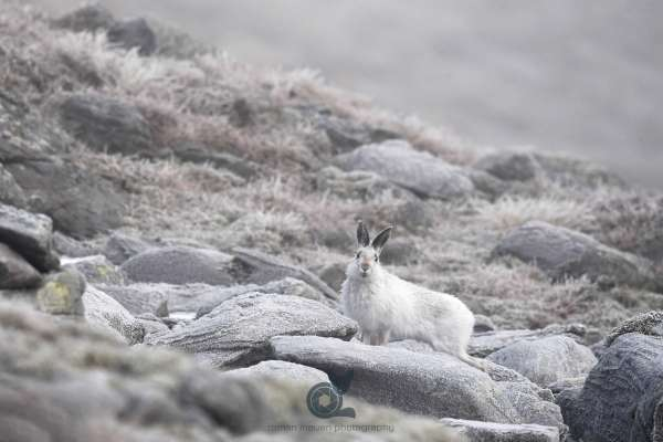 Mountain_hare_block_field_2_klein.jpg