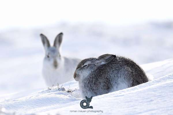 Mountain_hare_facebook.jpg