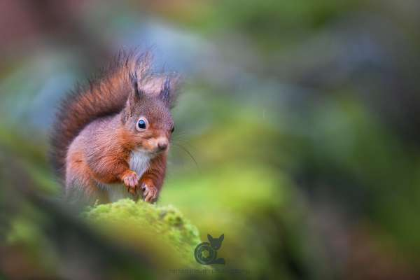 Red_Squirrel_abstract_3_2_klein.jpg