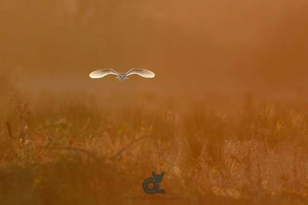 Barn_owl_morning_light_norfolk_klein.jpg