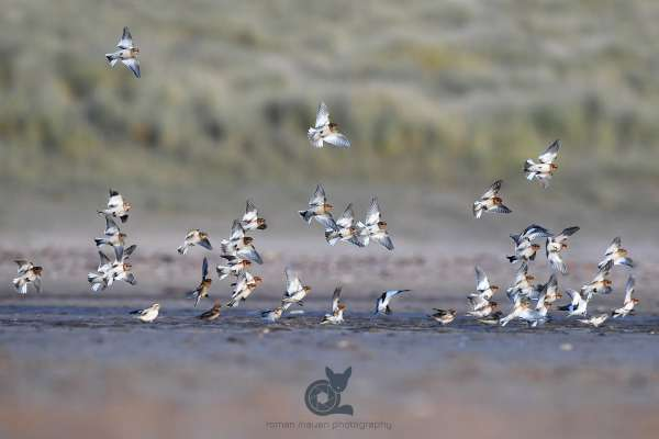Snow_buntings_flock_2_klein.jpg