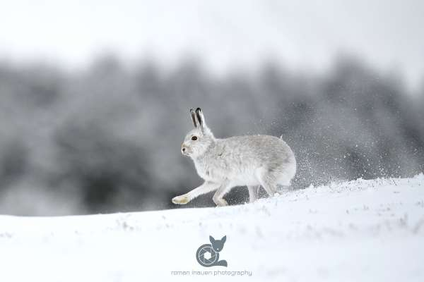 Mountain_hare_running_1_klein.jpg