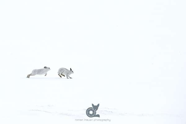 Mountain_hare_chasing_klein.jpg