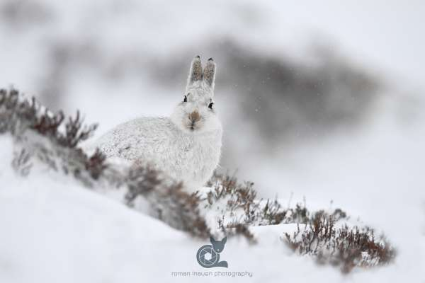 Mountain_hare_snow_4_klein.jpg