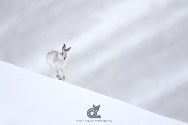 Mountain_Hare_snow_2_klein.jpg