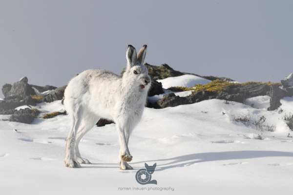 Mountain_hare_2_klein.jpg