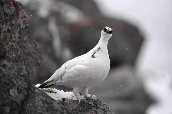 Ptarmigan_on_rock_looking_directly_klein.jpg