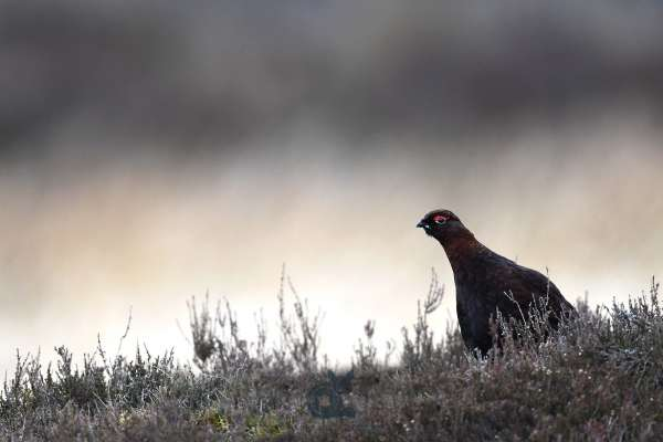 Red_Grouse_bright_background_1_klein.jpg