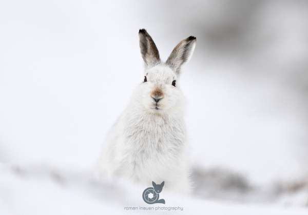 Mountain_hare_white_hare_1_crop_klein.jpg