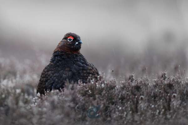 Red_Grouse_in_the_rain_klein.jpg
