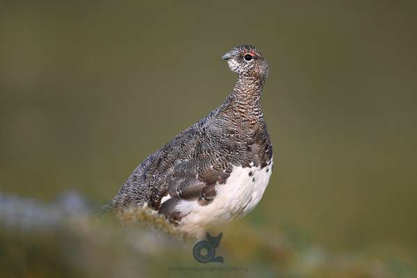 Ptarmigan_new_8_klein.jpg