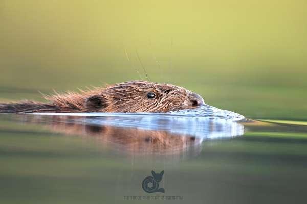 Beaver_6_klein.jpg