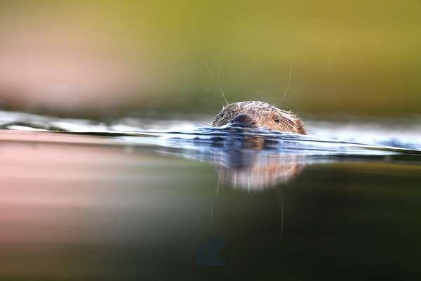 Beaver_3_klein.jpg