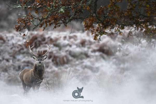 Stag_autumn_2_klein.jpg