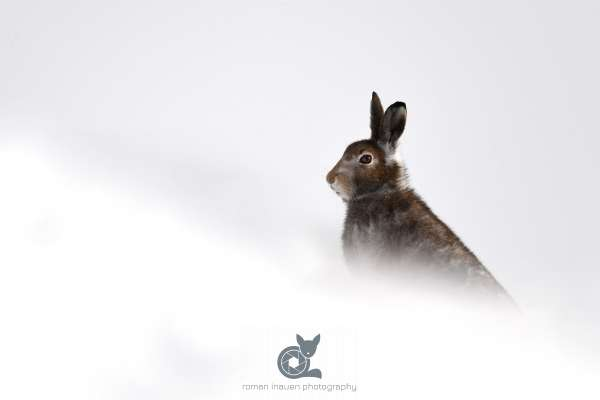 Mountain_hare_autumn_4_klein.jpg