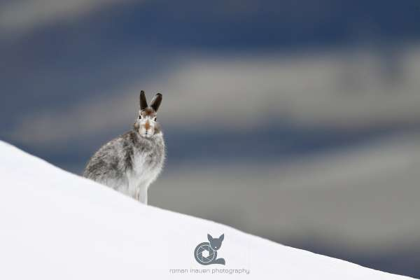 Mountain_hare_asutumn_3_klein.jpg
