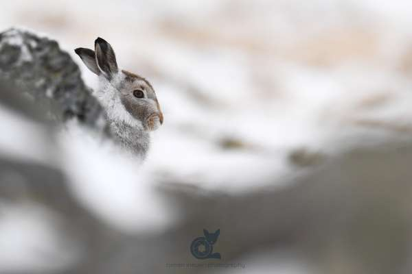 Mountain_hare_autumn_1_klein.jpg