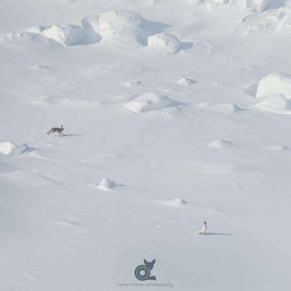 Mountain_hare_landscape_3_insta.jpg